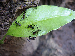 Ants on Leaf by Aarthi flickr CC